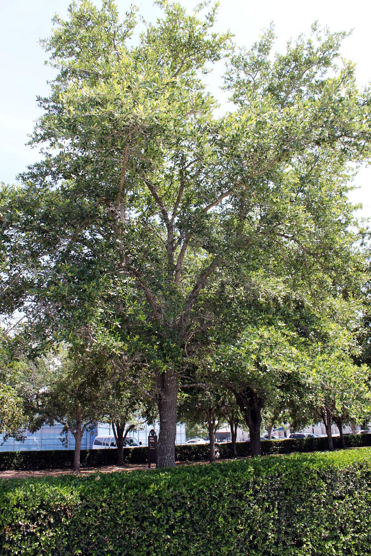 Rice University, live oak, honoring Dr. John Freeman