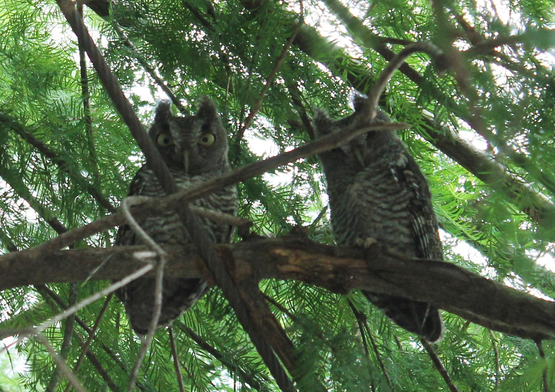 owls-sm