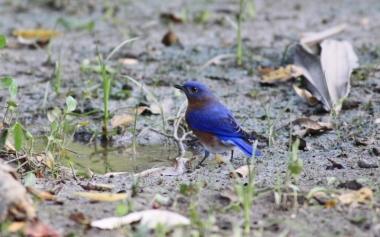 Eastern Bluebird, photo by Glenn Olsen.